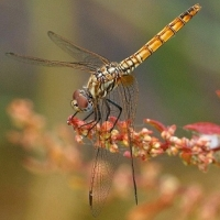 thumb_Trithemis_annulata_hembra_red